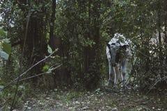En ko korsar ett fält som täckas med örter Den färdiga sommarsolen, bygden och djuren detta fotografi royaltyfria foton