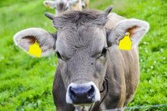 En ko med en etikett och en klocka som betar i bergen på en grön äng royaltyfri fotografi