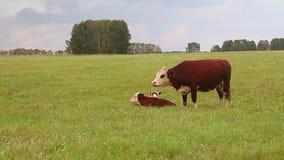 En ko med två kalvar stock video