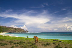 En ko på en öde strand Royaltyfri Foto
