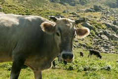 En ko på ett berg betar Arkivbilder