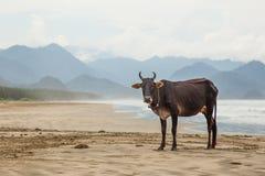 En ko på stranden Royaltyfri Bild