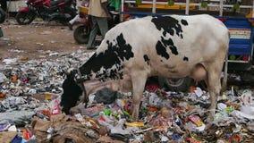 En ko som äter avskräde arkivfilmer