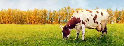 En ko som betar i äng Fotografering för Bildbyråer