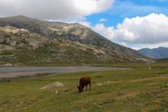 En ko som betar på ett fält Arkivbilder
