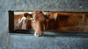 En ko som plirar till och med en öppning lager videofilmer