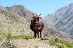 En ko står på en bakgrund av berg Arkivbilder