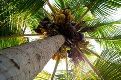 En kokospalm Fotografering för Bildbyråer