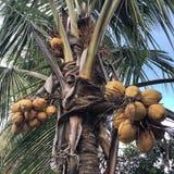 En kokospalm på Bali royaltyfri bild