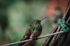 En kolibri i en tropisk rainforest i Colombia fotografering för bildbyråer