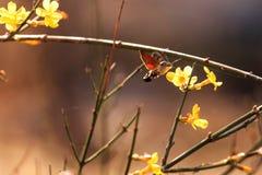 En kolibrimal som samlar honung Royaltyfri Fotografi