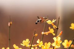 En kolibrimal som samlar honung Royaltyfri Bild