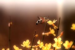 En kolibrimal som samlar honung Arkivbilder