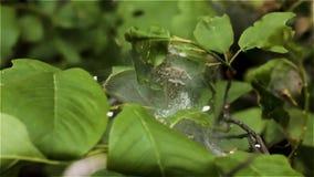 En koloni av gula svarta prickiga larver som kryper i ett vitt siden- rede på en grön växt som täckas med spindelnät stock video