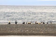 En koloni av konungen Penguins, Aptenodytespatagonicus som vilar på stranden på Parque Pinguino Rey, Tierra del Fuego Patagonia Royaltyfria Foton