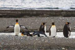 En koloni av konungen Penguins, Aptenodytespatagonicus som vilar på stranden på Parque Pinguino Rey, Tierra del Fuego Patagonia Arkivfoton
