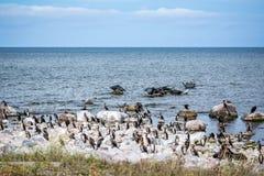 En koloni av kormoranfåglar och skyddsremsor på vaggar i det baltiska havet Arkivbild