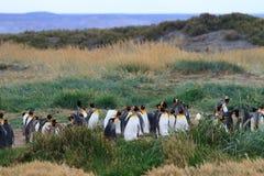En koloni av patagonicusen för konung som Penguins Aptenodytes vilar i gräset på Parque Pinguino Rey, Tierra del Fuego Patagonia Arkivfoto