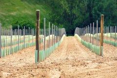 En koloni av unga vinrankor royaltyfria foton