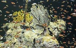 En kongregation av clownen Fish på en Coral Reef Royaltyfri Bild