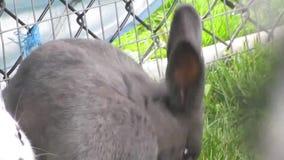 En konijntjeskonijn die snuiven likken stock footage