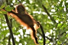 En kontur av en behandla som ett barnorangutang i grön krone av träd Central wurmbii för pygmaeus för Bornean orangutangPongo på  Arkivbild