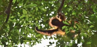 En kontur av en behandla som ett barnorangutang i grön krone av träd Central wurmbii för pygmaeus för Bornean orangutangPongo på  Arkivfoto