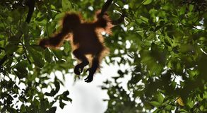En kontur av en behandla som ett barnorangutang i grön krone av träd Central wurmbii för pygmaeus för Bornean orangutangPongo på  Royaltyfria Bilder