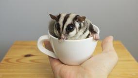 En kopp av sugarglider arkivfoto