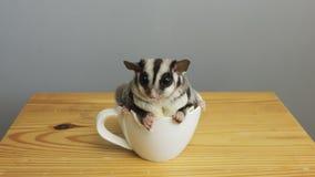 En kopp av sugarglider royaltyfria bilder