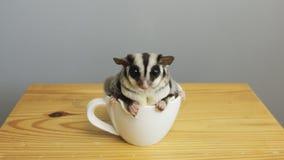 En kopp av sugarglider arkivbilder