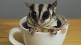 En kopp av sugarglider royaltyfri fotografi