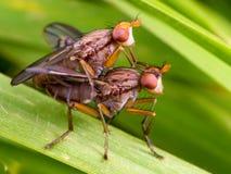 Para ihop för flugor Royaltyfria Bilder