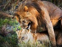 En koppla ihop av lionscopulationen på savannaen Serengeti, Tanzania, Afrika Arkivbilder