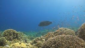 En korallrev med en Napoleon wrasse stock video