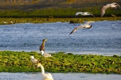 En kormoran mellan fiskmåsarna Royaltyfri Fotografi