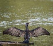 En kormoran som torkar dess vingar Fotografering för Bildbyråer