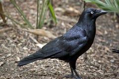 En korpsvart svart arkivfoto