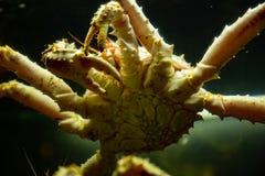 En krabba i vatten Fokuserat på magen royaltyfria bilder