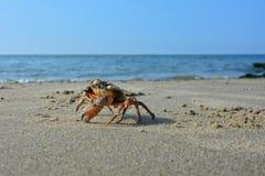 En krabba på den sandiga stranden för havsvåg Royaltyfri Foto