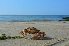 En krabba på den sandiga stranden för havsvåg Royaltyfria Bilder
