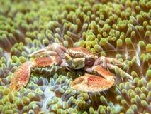 En krabba som bor med en anemon royaltyfri foto
