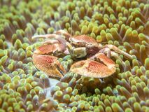 En krabba som bor med en anemon royaltyfria foton