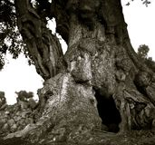 En kraftig fördelande och knäcka stam av en gammal oliv Arkivfoto