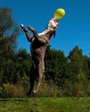 En kraftig hundbanhoppning i luften efter en ballong arkivbild