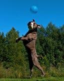 En kraftig hundbanhoppning i luften efter en ballong royaltyfria foton
