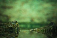 En krokodil som kikar ut ur vattnet Royaltyfri Bild