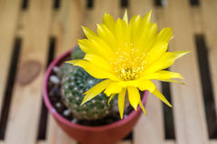 En kruka av kaktuns, Lobivia Arachnacantha Royaltyfria Bilder