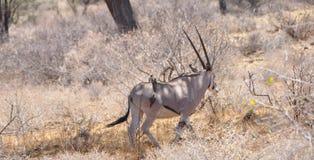 En Kudu i Shaba & Samburu Nationalpark royaltyfria foton