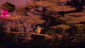 En kungsfiskarefågel arkivbilder